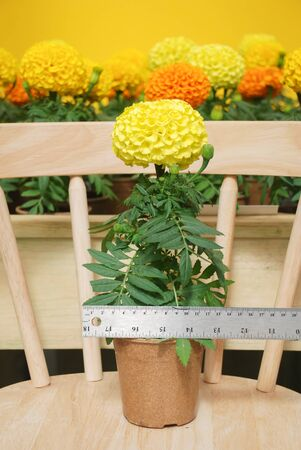 Marigolds Yellow Color (Tagetes erecta, Mexican marigold, Aztec marigold, African marigold), marigold pot plant with ruler, fllower sizing