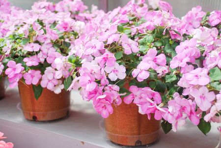 pink impatiens in potted, Busy Lizzie, scientific name Impatiens walleriana flowers also called Balsam, flowerbed of blossoms in pink