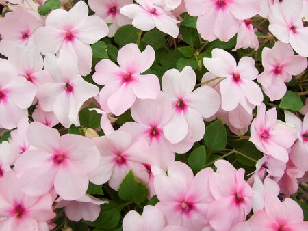 pink impatiens, Busy Lizzie, scientific name Impatiens walleriana flowers also called Balsam, flowerbed of blossoms in pink