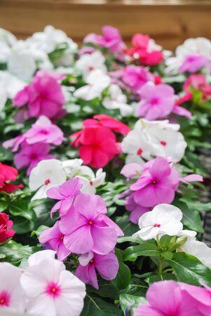 foliage vinca flowers, mixed vinca flowers (madagascar periwinkle), potted vinca