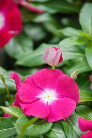 foliage vinca flowers, rose vinca flowers (madagascar periwinkle), potted vinca Standard-Bild