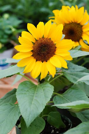 Helianthus annuus, small and potted sunflowers. dwarf helianthus, small flower size Standard-Bild