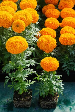 Marigolds Orange Color (Tagetes erecta, Mexican marigold, Aztec marigold, African marigold), marigold pot plant with roots