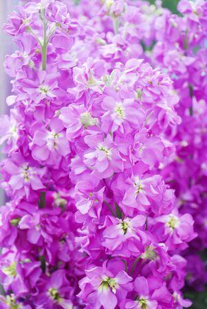 Matthiola incana flower, stock flowers, cut flowers in nursery, full bloom. Purple matthiola Standard-Bild