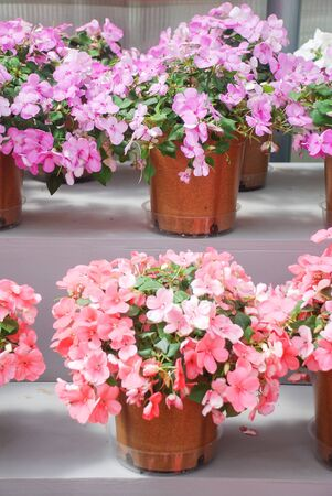 pink and purple impatiens in potted, scientific name Impatiens walleriana flowers also called Balsam, flowerbed of blossoms in pink and purple