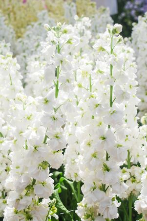 Matthiola incana flower, stock flowers, cut flowers in nursery, full bloom. White matthiola