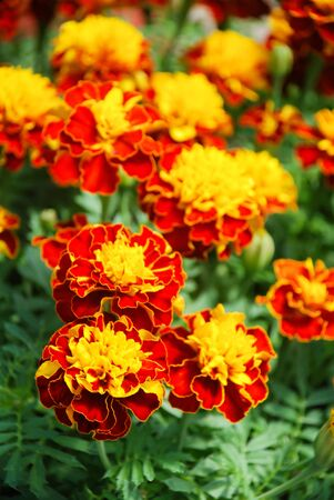 Tagetes patula french marigold in bloom, orange yellow flowers, green leaves, pot plant Standard-Bild