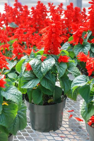 Red Salvia Splendens, Red flower plants in the black potted