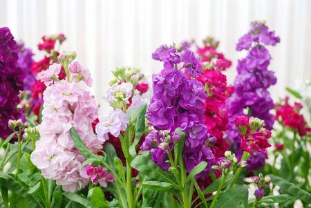 Matthiola incana flower, stock flowers, cut flowers in nursery, full bloom. Mixed matthiola Standard-Bild