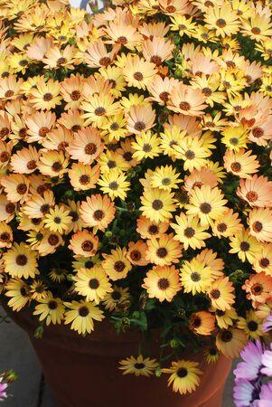 Orange osteospermum or dimorphotheca flowers in the flowerbed, orange flowers. Standard-Bild