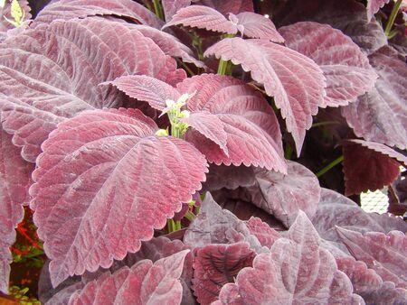 Purple leaves of the coleus plant, Plectranthus scutellarioides