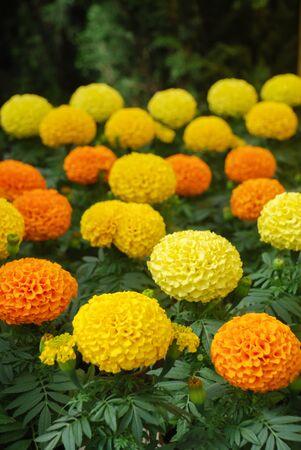 Marigolds Mixed Color (Tagetes erecta, Mexican marigold, Aztec marigold, African marigold), marigold pot plant Standard-Bild
