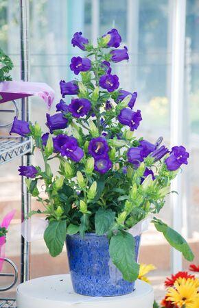 Purple Campanula flowers. Macro of flowers Campanula Portenschlagiana in blue potted.