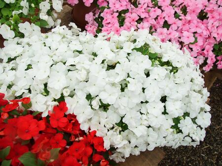 pink, red, white impatiens, scientific name Impatiens walleriana flowers also called Balsam, flowerbed of blossoms in pink Standard-Bild