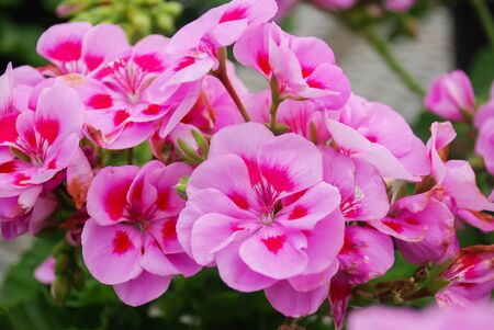 Pelargonium - Geranium Flowers showing their lovely petal Detail in the garden with a green background