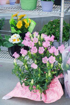 Pink Campanula flowers. Macro of flowers Campanula Portenschlagiana Standard-Bild