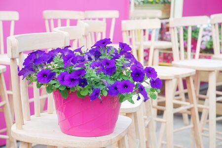 Petunia ,Petunias in the tray,Petunia in the pot, Purple petunia Standard-Bild