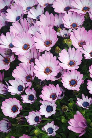 Light purple osteospermum or dimorphotheca flowers in the flowerbed, purple flowers.
