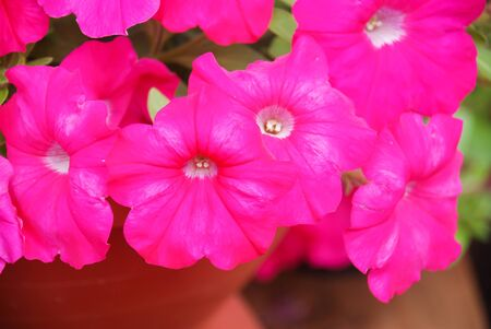 Petunia ,Petunias in the tray,Petunia in the pot, Rose pink petunia