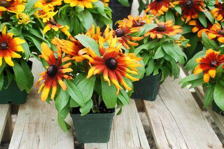 Yellow black-eyed susans, Rudbeckia hirta, flowering in a summer garden. potted plant Standard-Bild