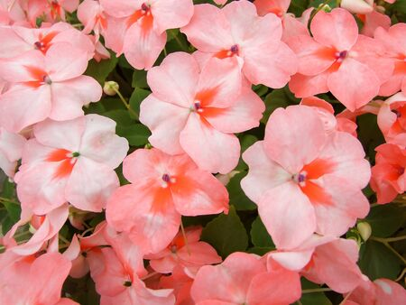 salmon pink impatiens, scientific name Impatiens walleriana flowers also called Balsam, flowerbed of blossoms in pink