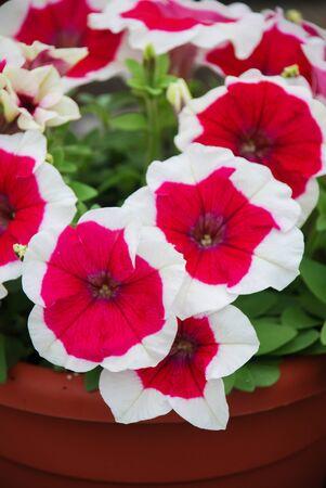 Petunia ,Petunias in the tray,Petunia in the pot, Rose halo petunia