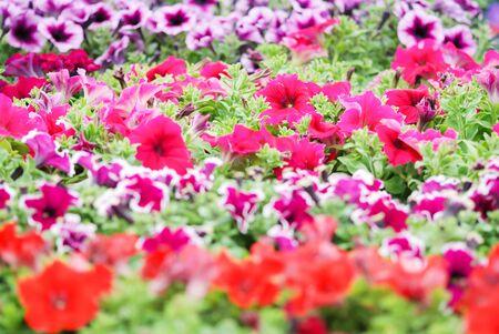 Petunia ,Petunias in the tray,Petunia in the pot, mixed color petunia