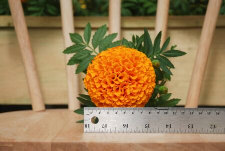 Marigolds Orange Color (Tagetes erecta, Mexican marigold, Aztec marigold, African marigold), marigold pot plant on wood chair and ruler for flower size