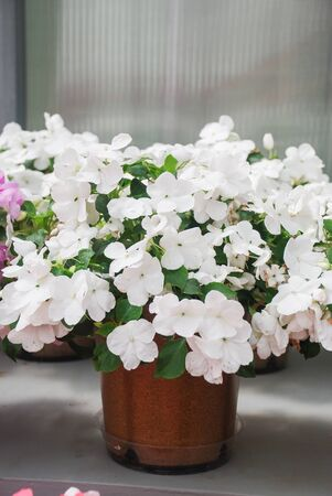 white impatiens in potted, scientific name Impatiens walleriana flowers also called Balsam, flowerbed of blossoms in white