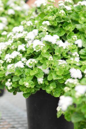 Ageratum, white ageratum, white pot plants in the black tray. Standard-Bild