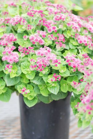 Ageratum, pink ageratum, pink pot plants in the black tray.