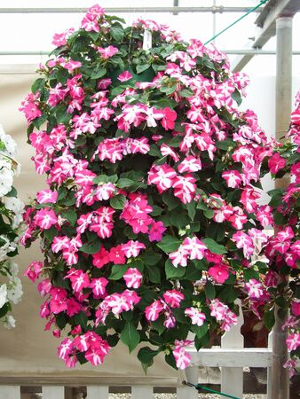pink impatiens, scientific name Impatiens walleriana flowers also called Balsam, flowerbed of blossoms in pink, hanging flowers