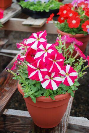 Petunia ,Petunias in the tray,Petunia in the pot, Rose star petunia Standard-Bild