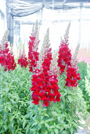 colorful Snap dragon (Antirrhinum majus) blooming in garden background with selectived focus, cut flowers