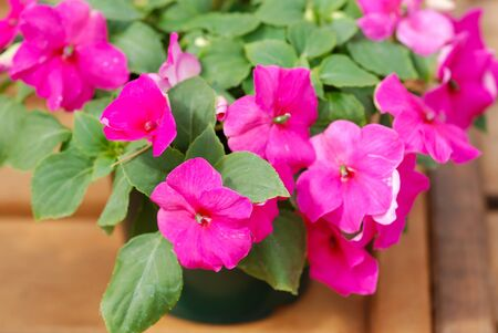 pink impatiens in potted, scientific name Impatiens walleriana flowers also called Balsam, flowerbed of blossoms in pink Standard-Bild