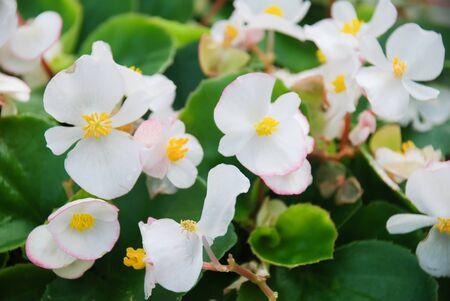 White Begonias,semperflorens begonias in the garden, potted begonia Standard-Bild