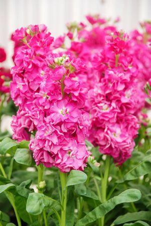 Matthiola incana flower, stock flowers, cut flowers in nursery, full bloom. Pink Rose matthiola