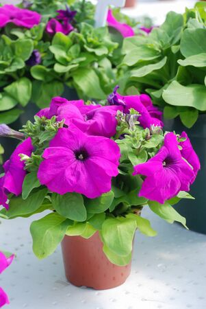 Petunia ,Petunias in the tray,Petunia in the potted, Purple petunia Standard-Bild
