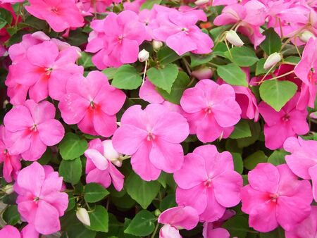 pink impatiens, scientific name Impatiens walleriana flowers also called Balsam, flowerbed of blossoms in pink Standard-Bild