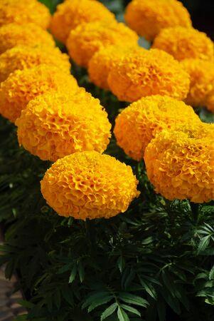 Marigolds Gold Color (Tagetes erecta, Mexican marigold, Aztec marigold, African marigold), marigold pot plant