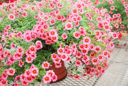 Petunia ,Petunias in the tray,Petunia in the pot, Mixed color petunia, pink and red shade Standard-Bild