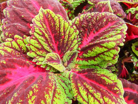 Red and green leaves of the coleus plant, Plectranthus scutellarioides Standard-Bild