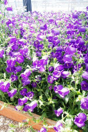 Purple Campanula flowers bedding. Macro of flowers Campanula Portenschlagiana Standard-Bild