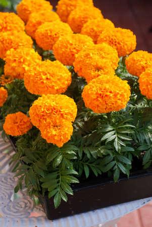 Marigolds Orange Color (Tagetes erecta, Mexican marigold, Aztec marigold, African marigold), marigold pot plant Stock Photo