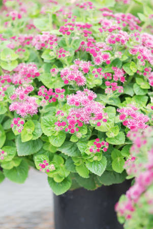Ageratum, pink ageratum, pink pot plants in the black tray