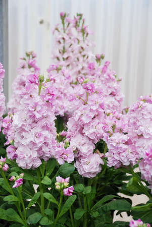 Matthiola incana flower, stock flowers, cut flowers in nursery, full bloom. Pink Matthiola
