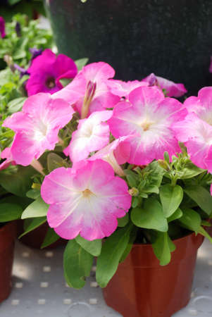 Petunia, Petunias in the tray,Petunia in the pot, neon pink petunia