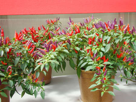 Ornamental pepper (dwarf pepper, Capsicum annuum), potted pepper ornament