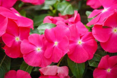 foliage vinca flowers, rose vinca flowers (Madagascar periwinkle), potted vinca