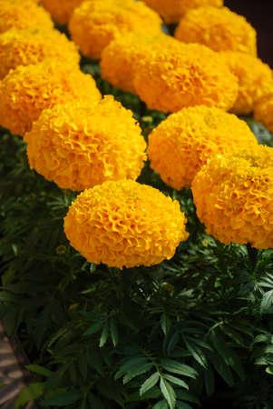 Marigolds Gold Color (Tagetes erecta, Mexican marigold, Aztec marigold, African marigold), marigold pot plant Фото со стока